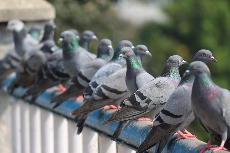 come scacciare i piccioni dal balcone