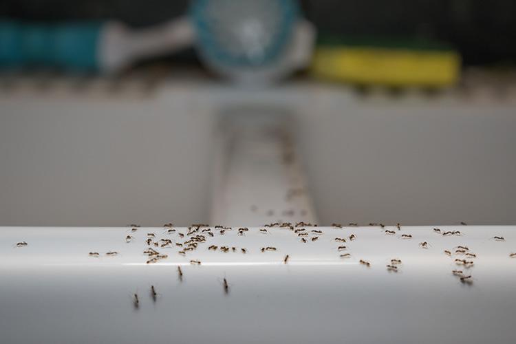 disinfestazione formiche in casa