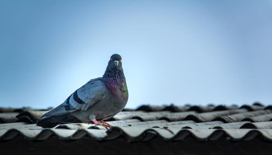 malattie dei piccioni