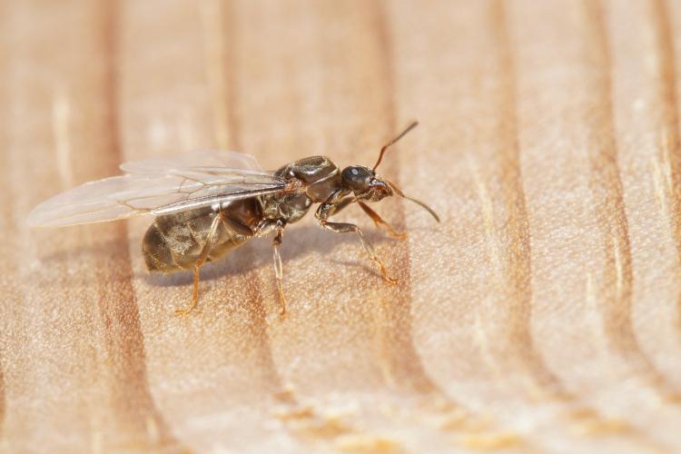 formiche volanti in casa