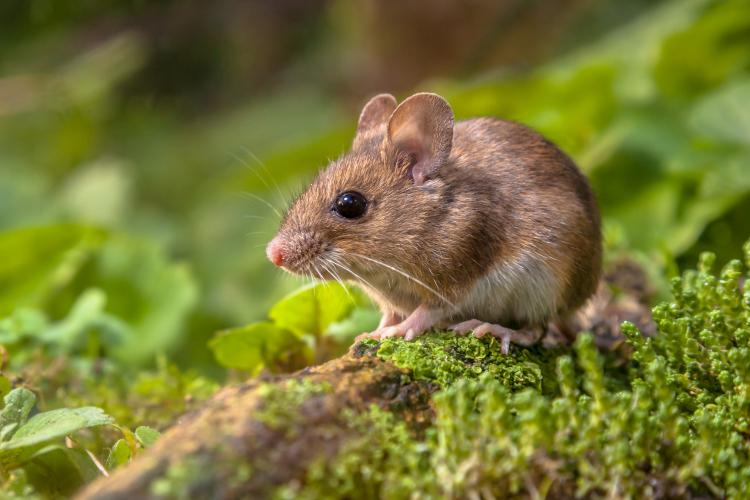 topi di campagna sono pericolosi