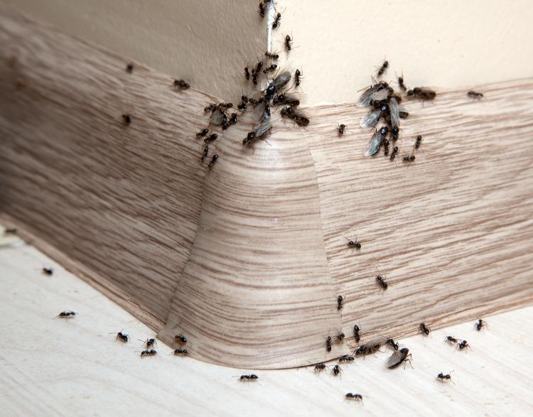 da dove vengono formiche