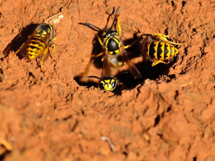 vespe di terra pericolose