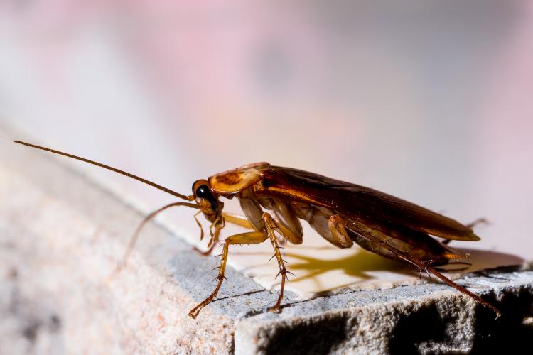 differenza tra scarafaggi e blatte