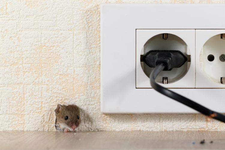 Da dove entrano i topi a casa