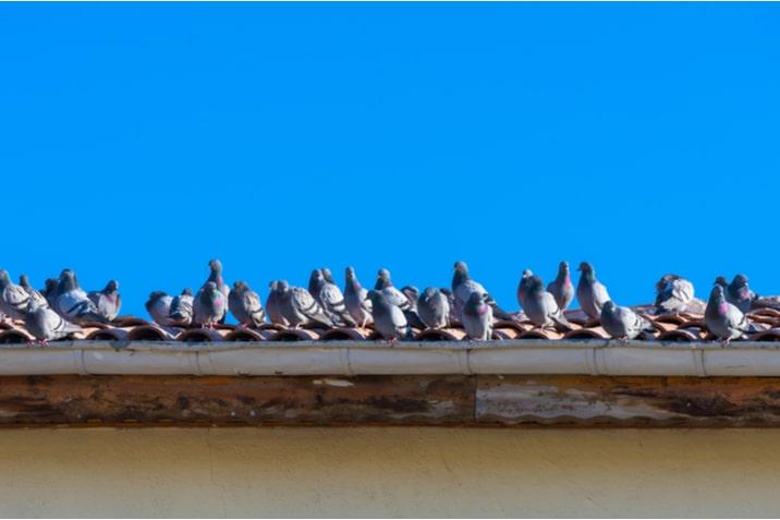 Come allontare i piccioni dal tetto