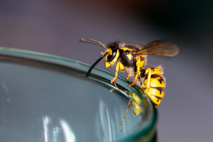 differenza-api-e-vespe