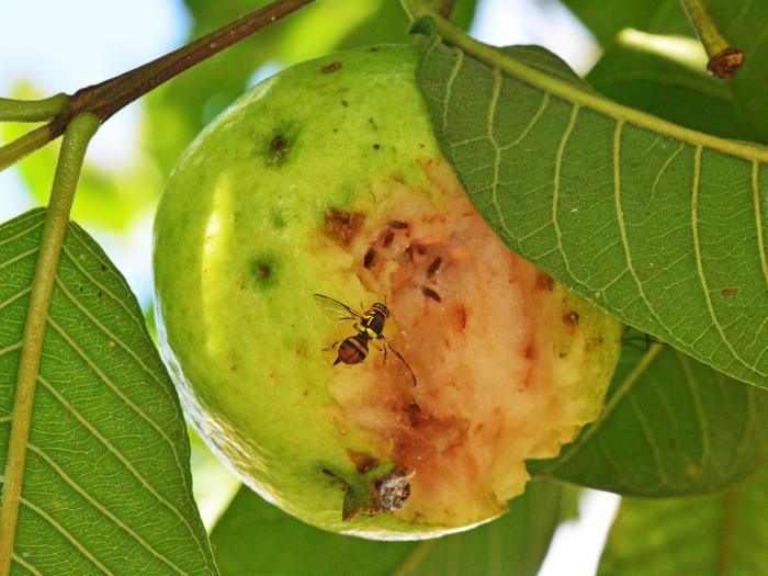 trattamenti-mosca-della-frutta