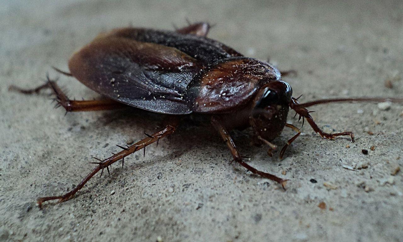 Piccoli Scarafaggi In Cucina disinfestazione blatte con trappole collanti. scarafaggi in